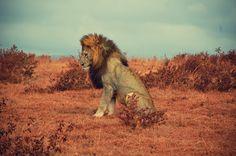 A beautiful Lion - pose #1  Ngorongoro Safari, Tanzania