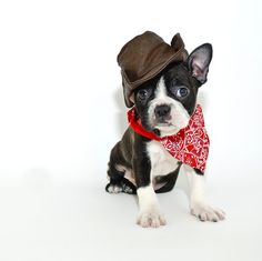 Boston Terrier puppy in cowboy outfit
