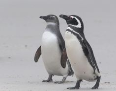 Magellanic penguin adult and juvenile, Falkland Islands by Hal and Kirsten Snyder
