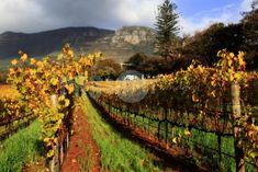 Vineyard at Constantia TG-C213/A176