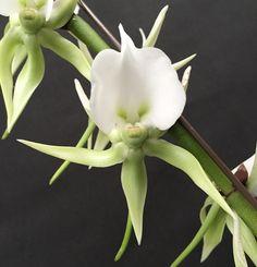 Flower-detail of Angraecum eburneum - Flickr - Photo Sharing!