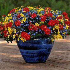container: bidens sunbeam, lobelia waterfall blue, verbena aztec red velvet