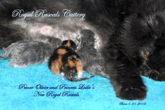 Princess Laila And Her Babies  http://www.royalrascalscattery.com/id2.html