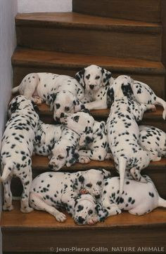 """Like many other much-loved humans, they believed that they owned their dogs, instead of realizing that their dogs owned them."" -- Dodie Smith, 101 Dalmatians"