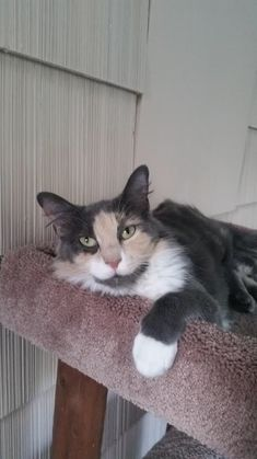 Natasha is an adoptable dilute calico searching for a forever family near Vineland, NJ. Use Petfinder to find adoptable pets in your area.