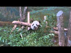 Panda (Er Shun) At The Toronto Zoo - YouTube