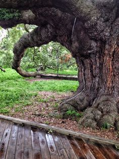 The Treaty Oak is a field live oak (quercus virginiana) that is the oldest living thing in Jacksonville, Florida.