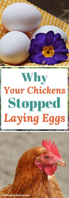 If your chickens have stopped laying eggs, several reasons can be the culprit. Here's the top 10 reasons hens stop laying eggs!