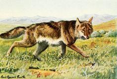 Fuertes, Louis Agassiz (1874-1927) - Burgess Animal Book for Children 1920 (Coyote). #vintage, #animals, #canis latrans