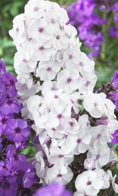 Phlox Ice Cream - Gardening For You Cottage Garden Plants, Garden Shrubs, Garden Pests, Exotic Flowers, Purple Flowers, White Flowers, Beautiful Flowers, Flag Pole Landscaping, Small Backyard Landscaping