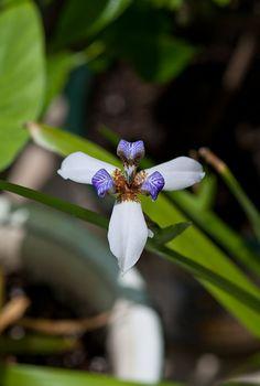 기역니은 :: 보라빛 백조가 앉아있다 가는 꽃 - 네오마리카 그라실리스