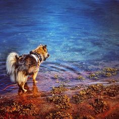 Keela the Finnish Lapphund is looking good on Pack. Husky, Dogs, Life, Animals, Animales, Animaux, Pet Dogs, Doggies, Husky Dog