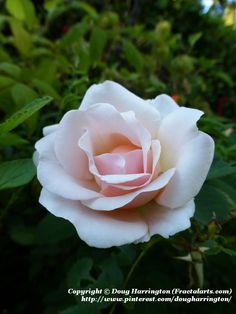 """Rose """"Pretty Lady"""" in my garden. extremely healthy rose with virtually no diease issues & is a continually blooming floribunda bush. Slight fragrance."""