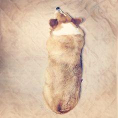 #dog #corgi いなり寿司みたいな、背中