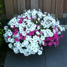 Large petunia white vain. Still going strong #zomerbloeiers