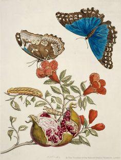 Butterflies by Maria Sybilla Merian