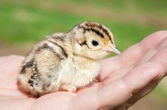 Raising Pheasant Chicks | This Lady's House