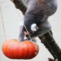Pumpkin enrichment at the Binghamton Zoo - Ring tailed lemur