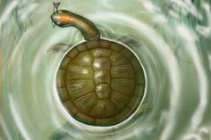 Giant, Round Prehistoric Turtle Discovered