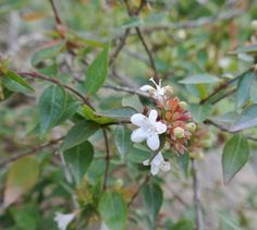 #Abelia #flower #ultimissimedallorto