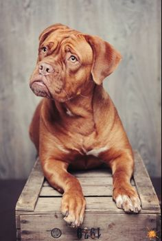 Photographie dogue de Bordeaux