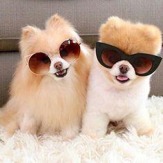 Pomeranian cuties - awww