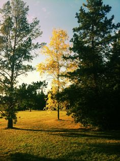 Dog park in Edmonton - #fall #autumn #leaves #yellow #color #pretty #beautiful #tree #edmonton #alberta #canada