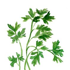 Parsley art Print of original watercolor painting by TheJoyofColor, $21.00