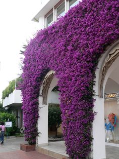 Bouganvilla at Anacapri, Italy... I want these flowers on my wall or fence. Easy to grow. Attracts butterflies.