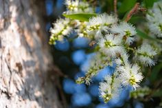 Melaleuca Essential oil with its purifying qualities makes it useful for cleansing the skin,purifying the air, or promoting healthy immune function.Learn more about its benefits and how to use it with Flex5 Aromatherapy Consult!