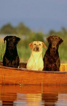 Labs of all colors on little boat
