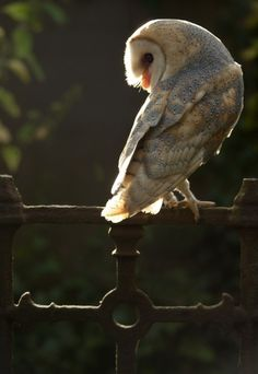 Barn owls are flawless. their heart shaped face fascinates me.