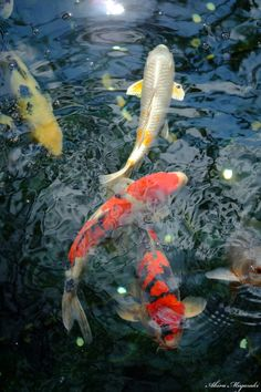 Facts about koi fish ponds including the different aspects included in a koi pond and how care for koi fish successfully. Water Aesthetic, Aesthetic Japan, Japanese Aesthetic, Koi Fish Pond, Koi Carp, Fish Ponds, Japanese Koi, Japanese Dragon, Carpe Koi