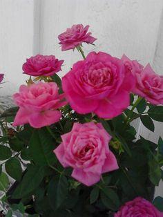Ruusu #rose