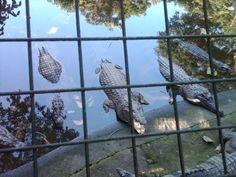 Alligators in the Philippines
