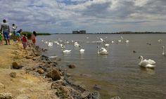 По дороге в симферопольский аэропорт сделали остановку и покормили лебедей. 8 июля 2014 г. Евпатория.
