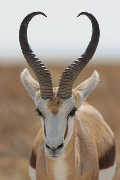 Springbok, Etosha National Park.   Photo mario_ruckh on flickr