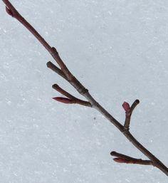 Aronia x prunifolia. CC BY