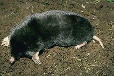 Townsend's mole (Scapanus townsendii)