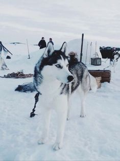 Gorgeous husky dog in the snow so cute and beautiful even with the white aesthetic