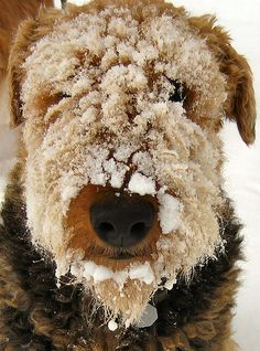 Airedale Terrier with a face full of snow (this is common!)