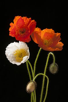 Red, orange and white poppy flowers with buds on black background.