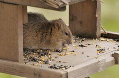 identification of roof rat droppings rodents