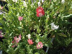 Afghan White Poppy