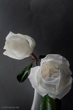 Magnolia 03 by T. Scott Carlisle, via Flickr