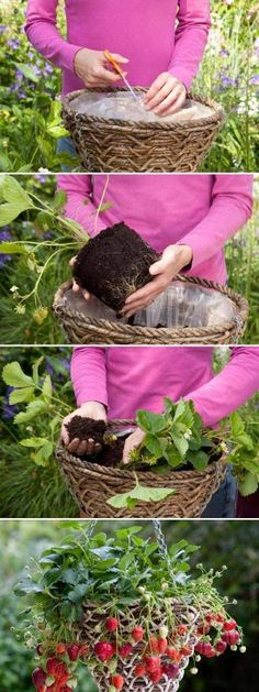 Growing_Strawberries_in_Baskets Más