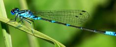 Read this interesting article on dragonfly facts; discover its significance, see amazing pictures and learn mysterious dragonfly symbolism and meaning Dragonfly Life Cycle, Dragonfly Facts, Dragonfly Symbolism, Dragonfly Meaning, Dragonfly Images, Blue Dragonfly, African Antelope, Floating Plants, Flying Insects