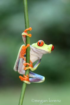 Hang In There - Red-Eyed Tree Frog in Costa Rica