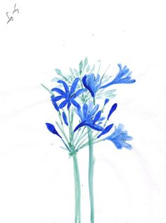Agapanthus - Sweeping Girl