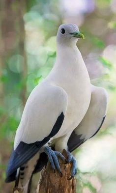 Pied Imperial Pigeon (Ducula bicolor) - from Myanmar & Thailand, throughout Indonesia and east to Philippines & Bird's Head Peninsula in New Guinea Kinds Of Birds, All Birds, Cute Birds, Pretty Birds, Beautiful Birds, Animals Beautiful, Nature Animals, Animals And Pets, Cute Animals